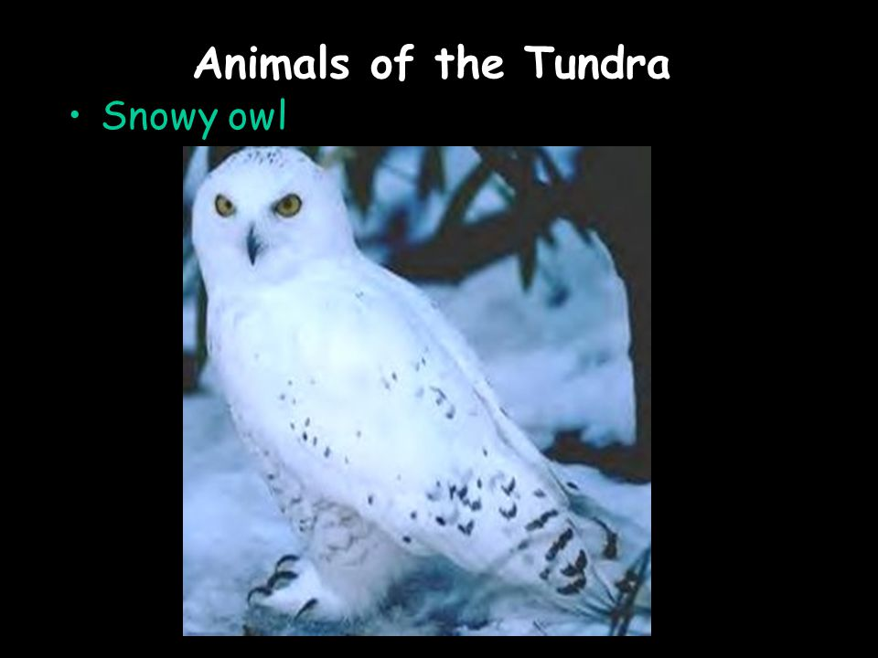 Animals of the Tundra Snowy owl
