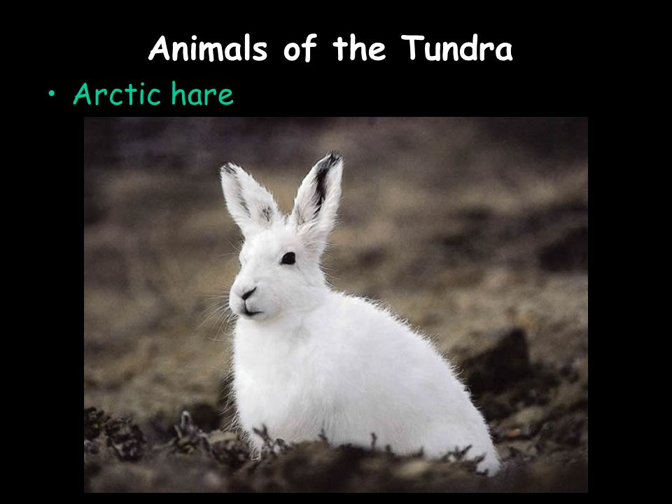 Animals of the Tundra Arctic hare