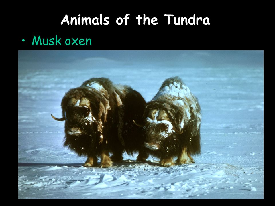 Animals of the Tundra Musk oxen