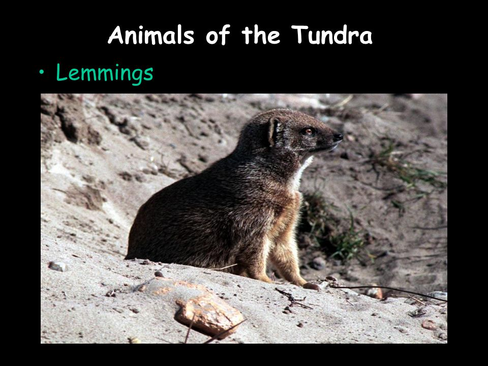 Animals of the Tundra Lemmings