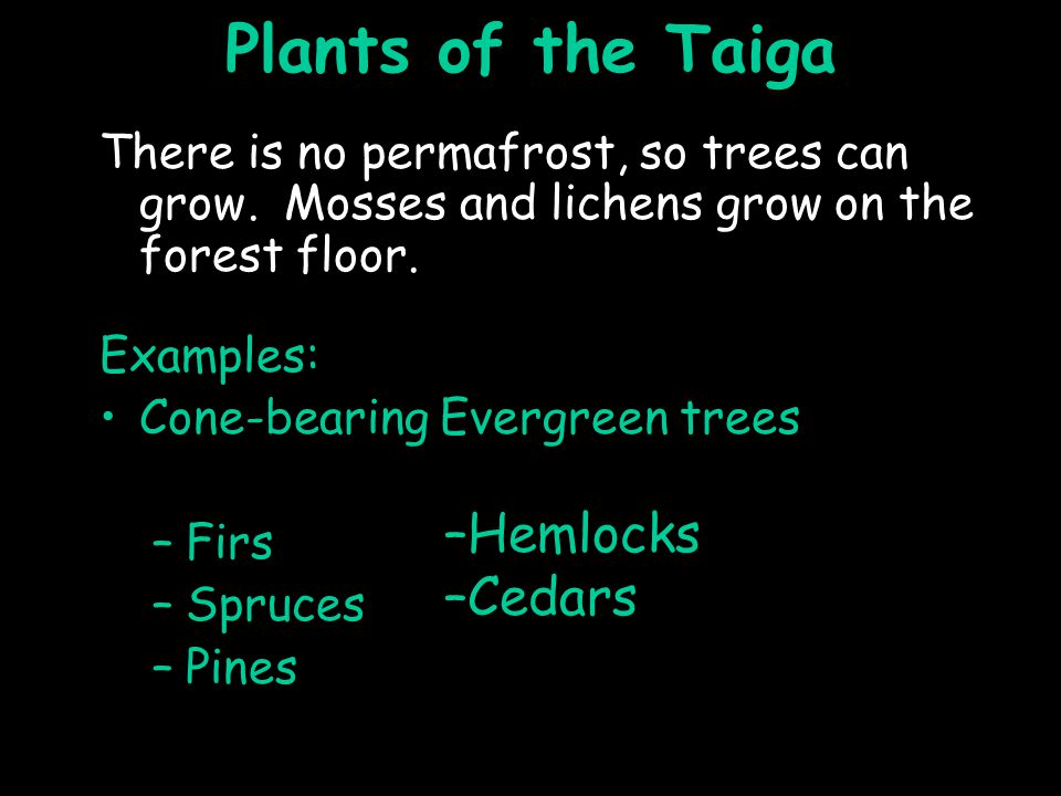 Plants of the Taiga There is no permafrost, so trees can grow.