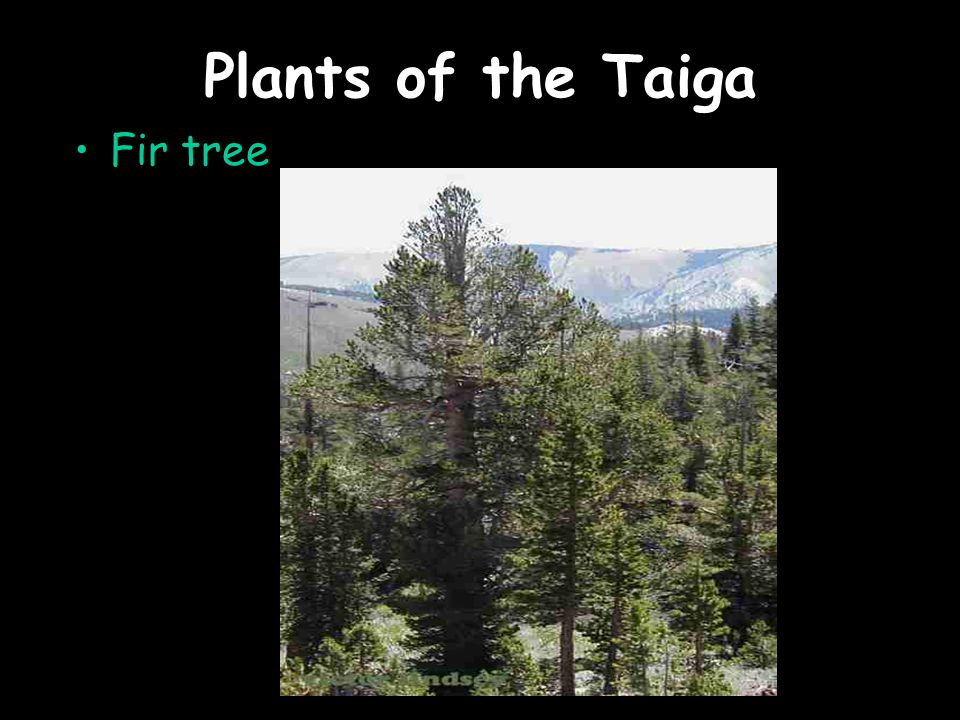 Plants of the Taiga Fir tree