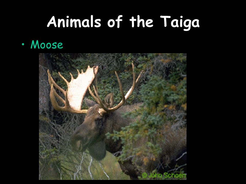 Animals of the Taiga Moose