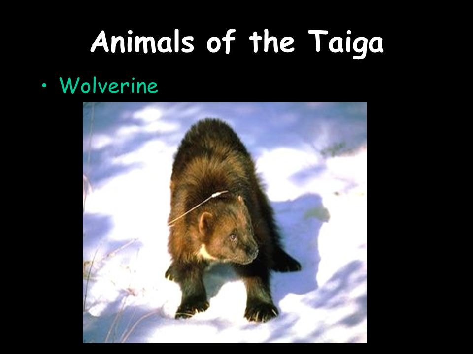 Animals of the Taiga Wolverine