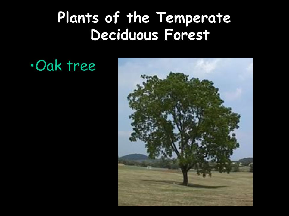 Plants of the Temperate Deciduous Forest Oak tree