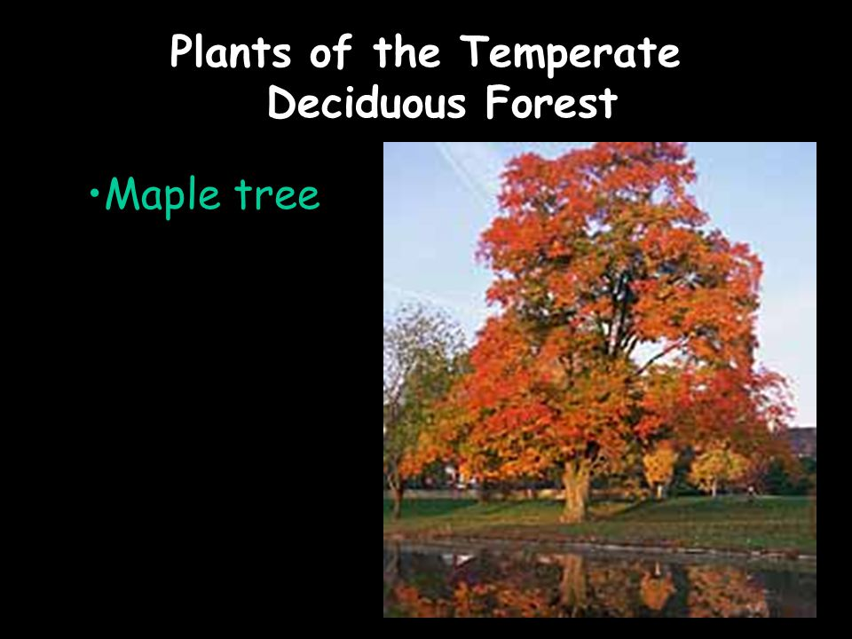 Plants of the Temperate Deciduous Forest Maple tree