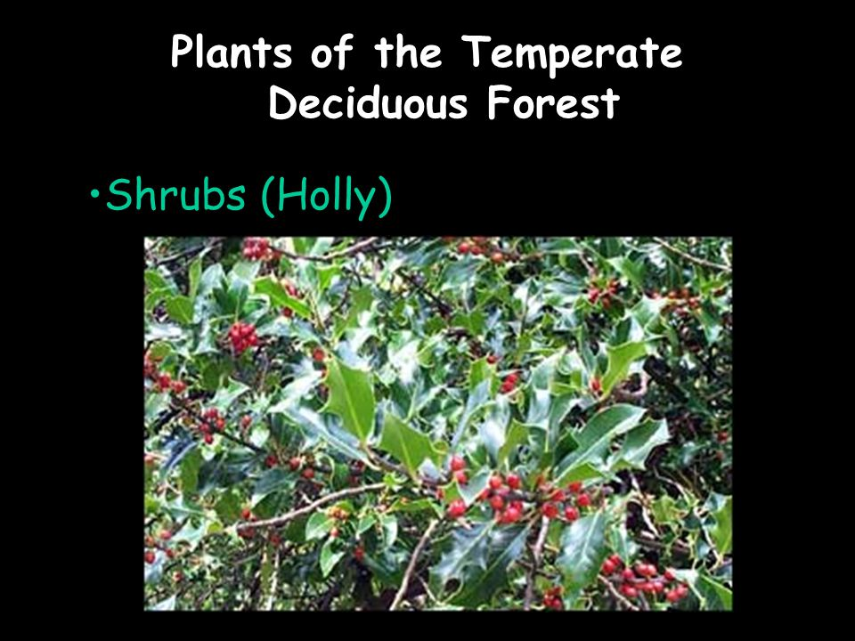 Plants of the Temperate Deciduous Forest Shrubs (Holly)