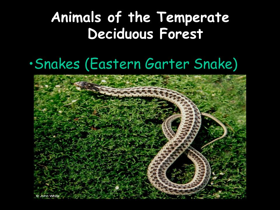Animals of the Temperate Deciduous Forest Snakes (Eastern Garter Snake)