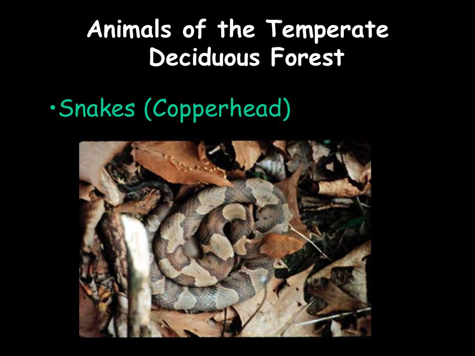 Animals of the Temperate Deciduous Forest Snakes (Copperhead)