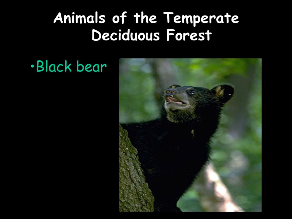 Animals of the Temperate Deciduous Forest Black bear