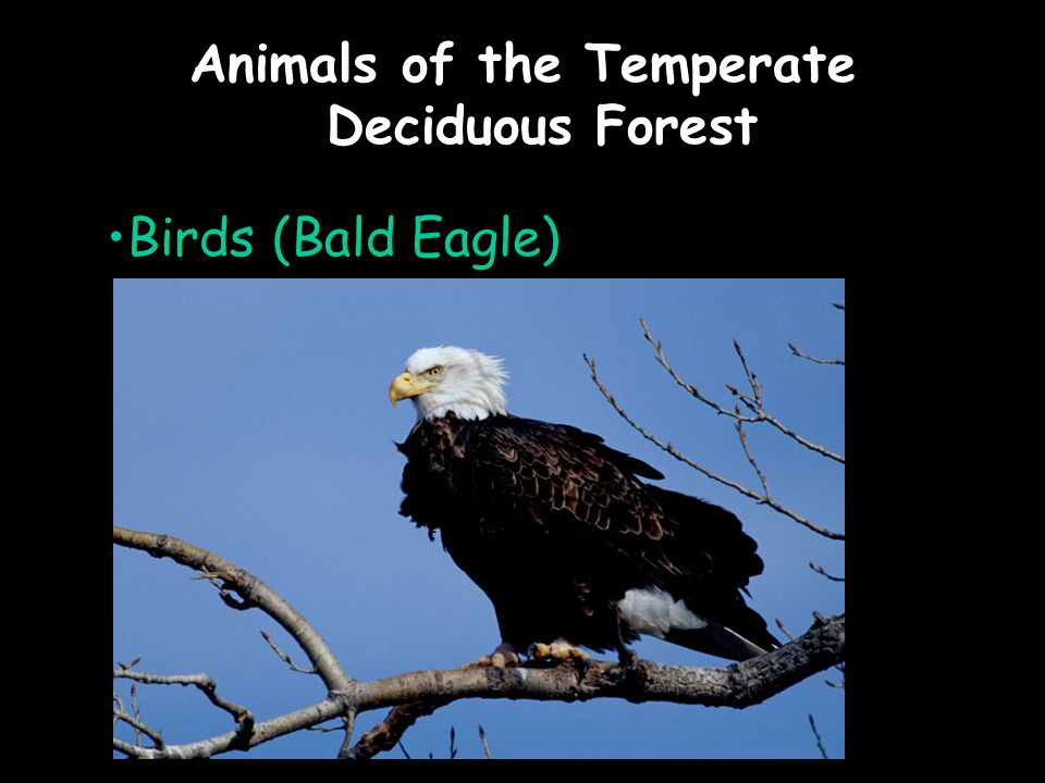 Animals of the Temperate Deciduous Forest Birds (Bald Eagle)