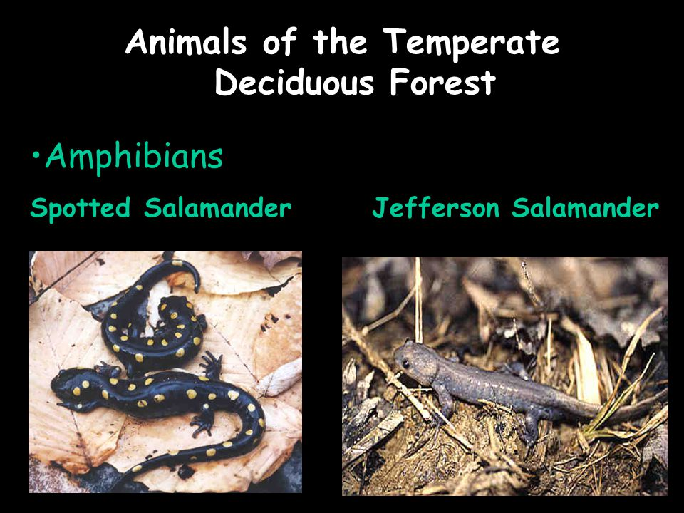 Animals of the Temperate Deciduous Forest Amphibians Spotted Salamander Jefferson Salamander
