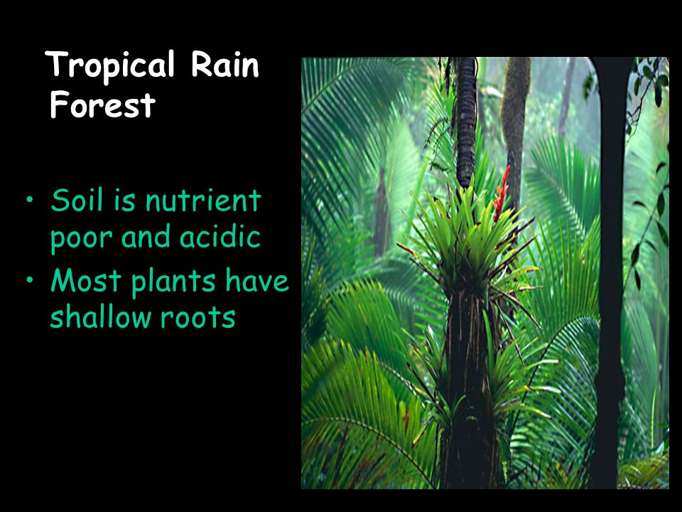 Tropical Rain Forest Soil is nutrient poor and acidic Most plants have shallow roots