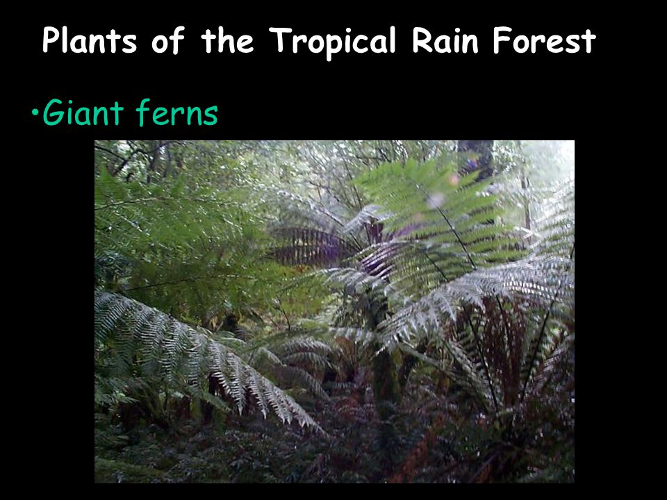 Plants of the Tropical Rain Forest Giant ferns