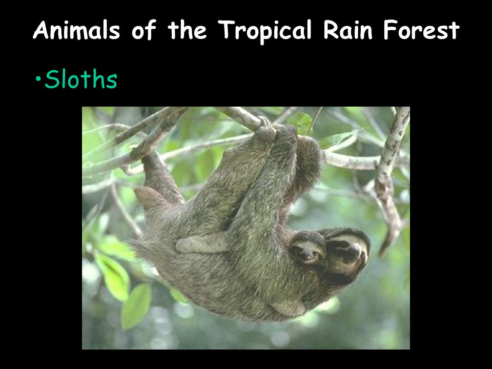 Animals of the Tropical Rain Forest Sloths