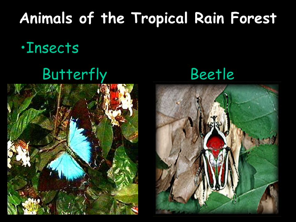 Animals of the Tropical Rain Forest Insects ButterflyBeetle
