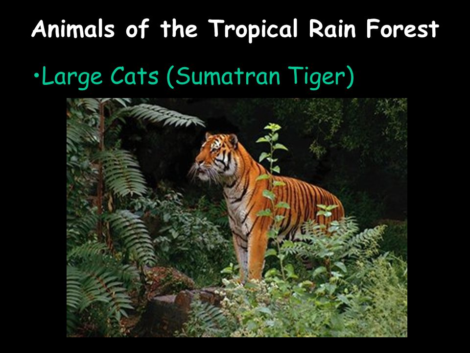 Animals of the Tropical Rain Forest Large Cats (Sumatran Tiger)