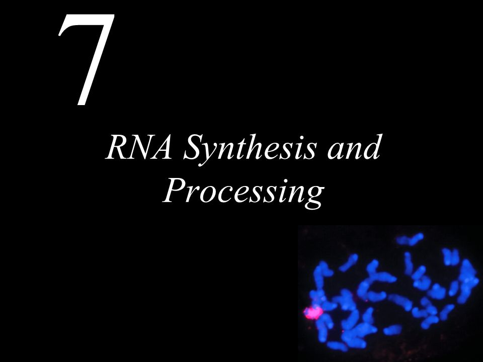 7 RNA Synthesis and Processing Chapter Outline Transcription in Prokaryotes Eukaryotic RNA Polymerases and General Transcription Factors Regulation of Transcription in Eukaryotes RNA Processing and Turnover