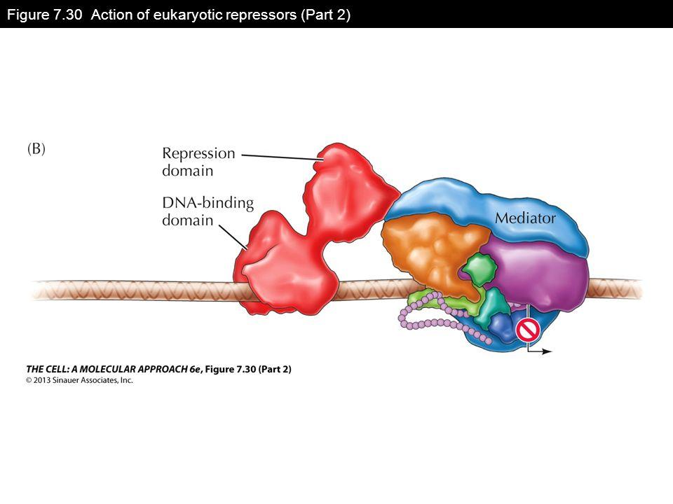 Figure 7.30 Action of eukaryotic repressors (Part 2)