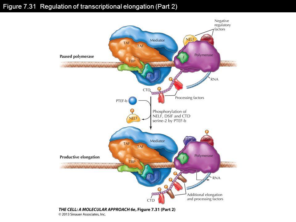 Figure 7.31 Regulation of transcriptional elongation (Part 2)