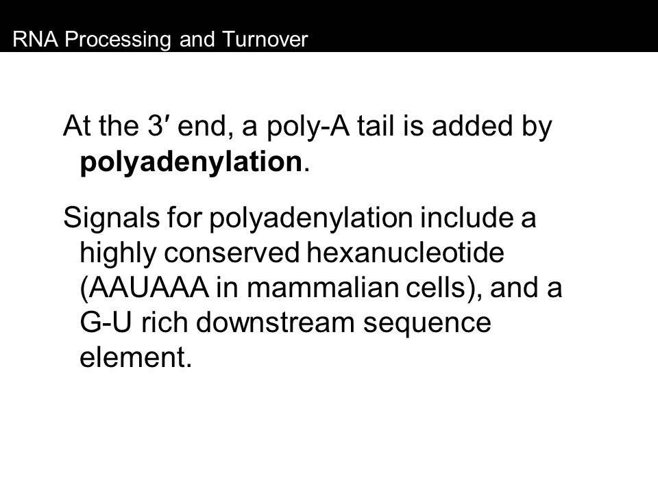 RNA Processing and Turnover At the 3′ end, a poly-A tail is added by polyadenylation. Signals for polyadenylation include a highly conserved hexanucle