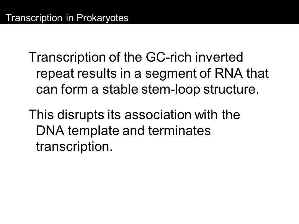 Transcription in Prokaryotes Transcription of the GC-rich inverted repeat results in a segment of RNA that can form a stable stem-loop structure. This