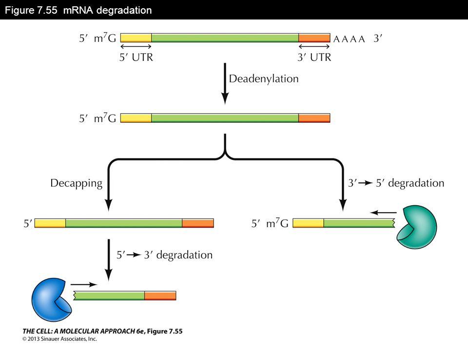 Figure 7.55 mRNA degradation