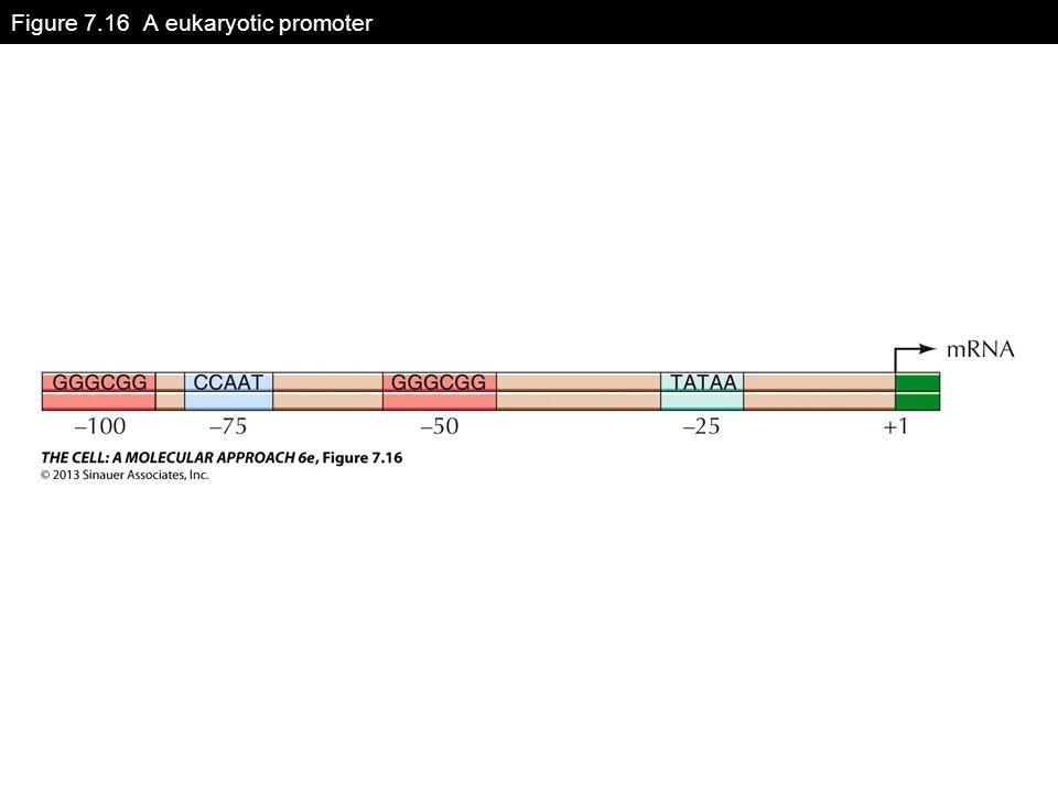 Figure 7.16 A eukaryotic promoter