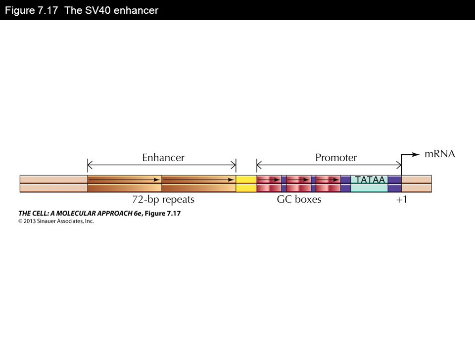 Figure 7.17 The SV40 enhancer