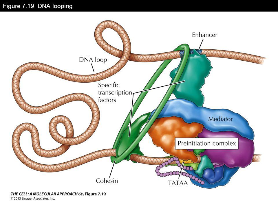 Figure 7.19 DNA looping