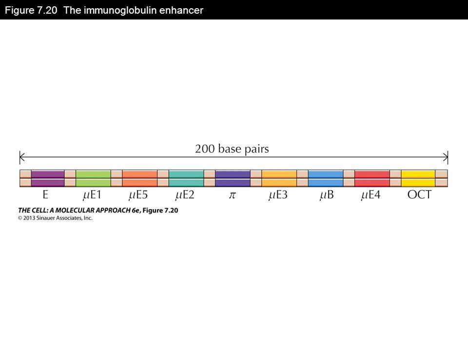 Figure 7.20 The immunoglobulin enhancer