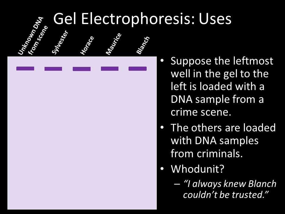 Gel Electrophoresis: Uses Suppose the leftmost well in the gel to the left is loaded with a DNA sample from a crime scene.