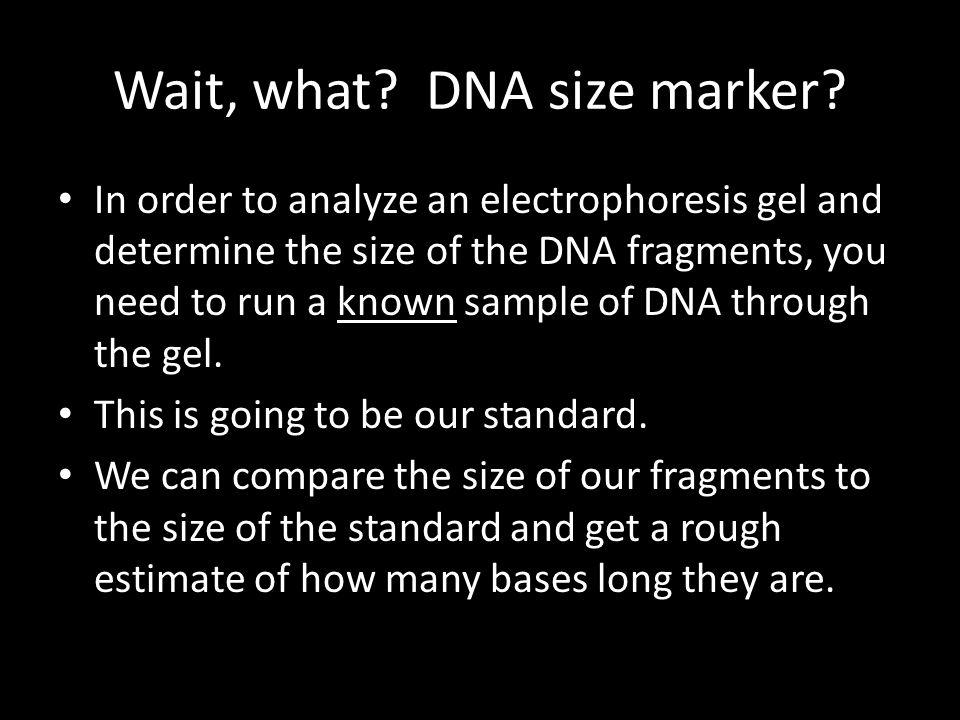 Wait, what. DNA size marker.