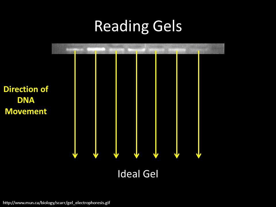 Reading Gels Ideal Gel http://www.mun.ca/biology/scarr/gel_electrophoresis.gif Direction of DNA Movement