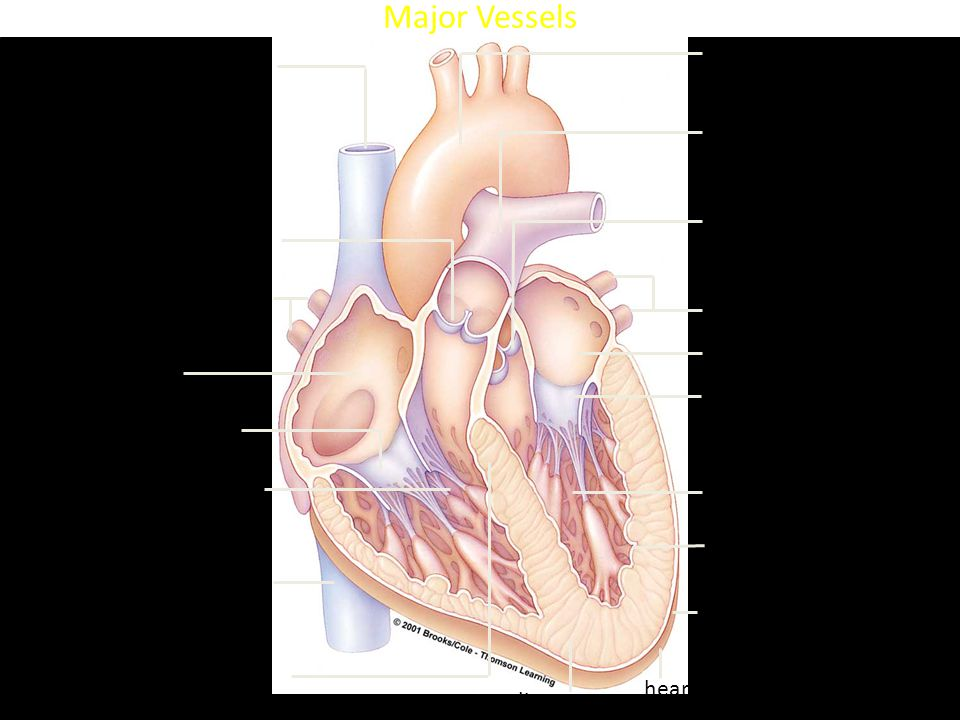 Heart Anatomy superior vena cava right semilunar valve right pulmonary veins right atrium right AV valve right ventricle inferior vena cava septum myocardium heart's apex arch of aorta trunk of pulmonary arteries left semilunar valve left pulmonary veins left atrium left AV valve left ventricle endothelium and connective tissue inner layer of pericardium Major Vessels