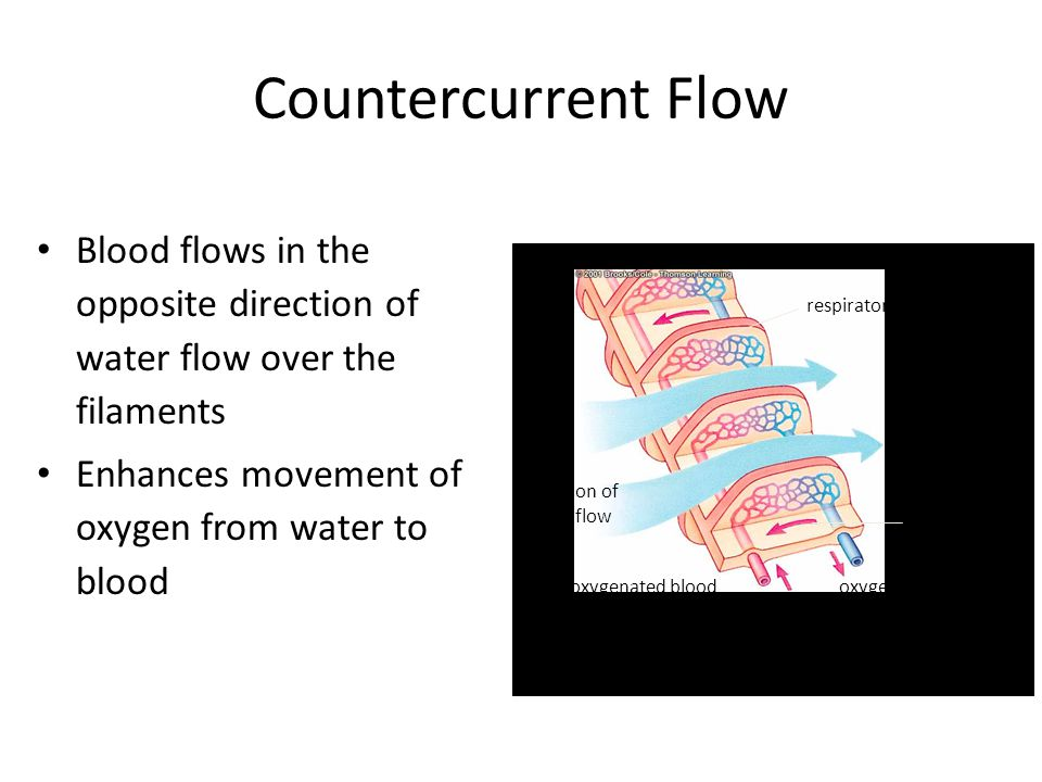Countercurrent Flow Blood flows in the opposite direction of water flow over the filaments Enhances movement of oxygen from water to blood direction of water flow respiratory surface direction of blood flow oxygen-poor blood from deep in body oxygenated blood back toward body