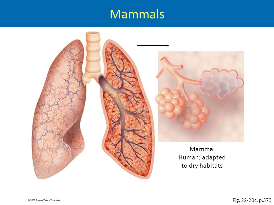 Mammal Human; adapted to dry habitats Fig. 22-20c, p.373 Mammals