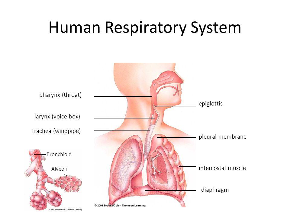 Human Respiratory System pharynx (throat) larynx (voice box) trachea (windpipe) pleural membrane intercostal muscle diaphragm epiglottis Bronchiole Alveoli