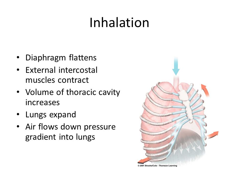 Inhalation Diaphragm flattens External intercostal muscles contract Volume of thoracic cavity increases Lungs expand Air flows down pressure gradient into lungs
