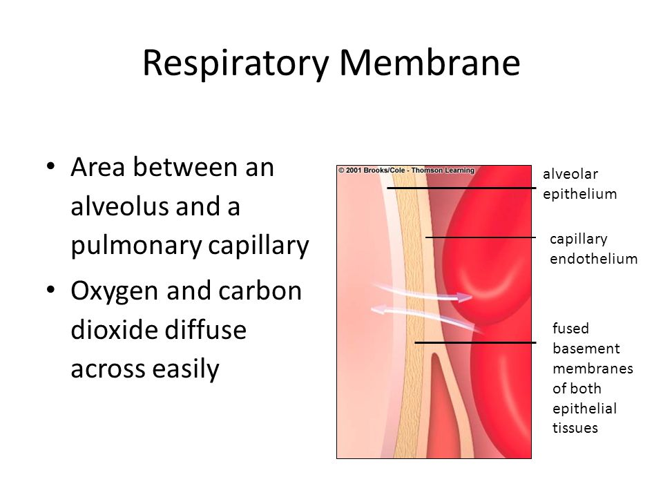 Respiratory Membrane Area between an alveolus and a pulmonary capillary Oxygen and carbon dioxide diffuse across easily alveolar epithelium capillary endothelium fused basement membranes of both epithelial tissues