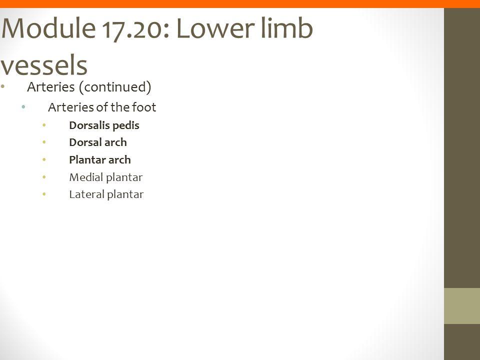 Module 17.20: Lower limb vessels Arteries (continued) Arteries of the foot Dorsalis pedis Dorsal arch Plantar arch Medial plantar Lateral plantar