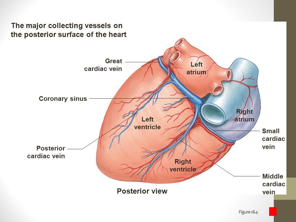 Figure 18.4 4 Left ventricle Right ventricle Right atrium Left atrium Posterior view Posterior cardiac vein Great cardiac vein Middle cardiac vein Sma