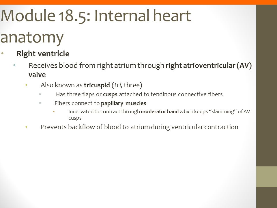 Module 18.5: Internal heart anatomy Right ventricle Receives blood from right atrium through right atrioventricular (AV) valve Also known as tricuspid