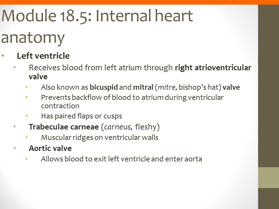 Module 18.5: Internal heart anatomy Left ventricle Receives blood from left atrium through right atrioventricular valve Also known as bicuspid and mit