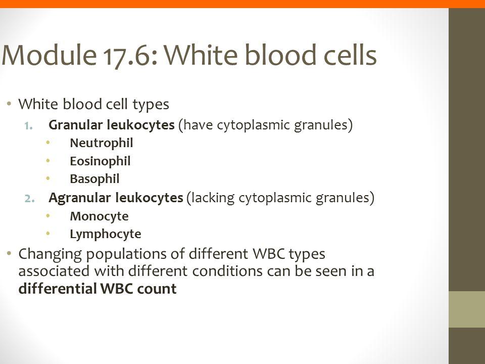 Module 17.6: White blood cells White blood cell types 1.Granular leukocytes (have cytoplasmic granules) Neutrophil Eosinophil Basophil 2.Agranular leu