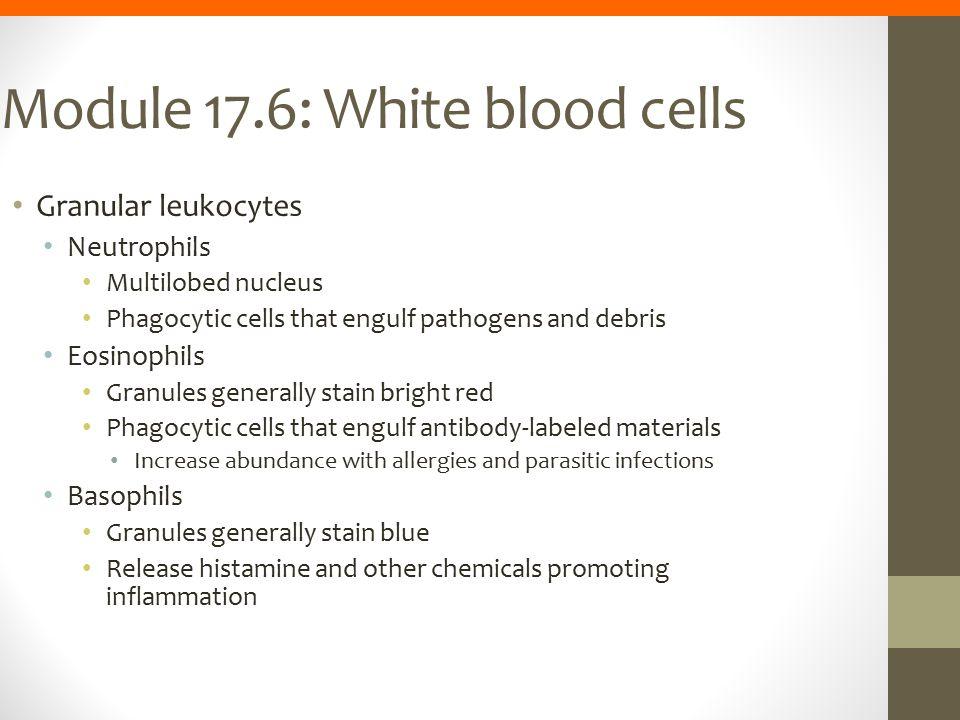 Module 17.6: White blood cells Granular leukocytes Neutrophils Multilobed nucleus Phagocytic cells that engulf pathogens and debris Eosinophils Granul
