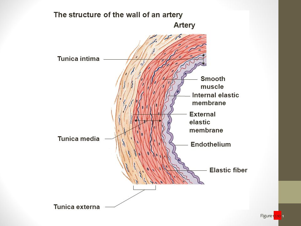 Figure 17.10 1 The structure of the wall of an artery Artery Tunica intima Tunica media Tunica externa Smooth muscle Internal elastic membrane Externa