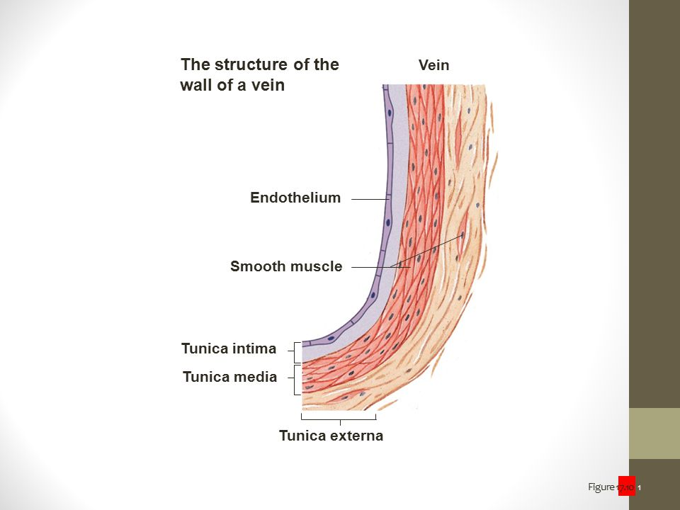 Figure 17.10 1 Tunica externa Tunica media Tunica intima Endothelium Smooth muscle Vein The structure of the wall of a vein