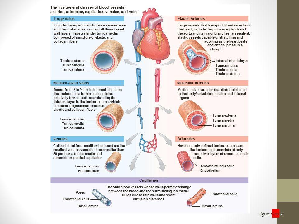 Figure 17.10 2 The five general classes of blood vessels: arteries, arterioles, capillaries, venules, and veins Large Veins Medium-sized Veins Venules