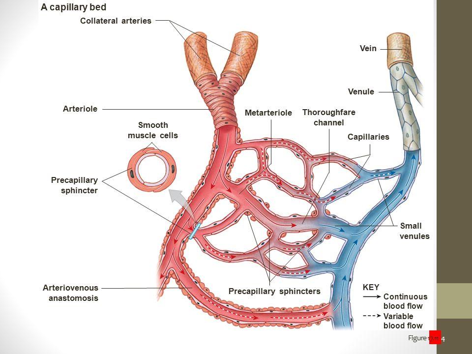 Figure 17.11 4 Smooth muscle cells Precapillary sphincter Arteriovenous anastomosis Precapillary sphincters Arteriole Metarteriole Variable blood flow
